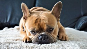 blog franse bulldog