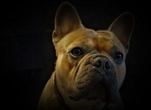 franse bulldog fokker
