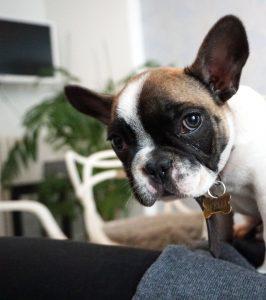 franse bulldog kopen